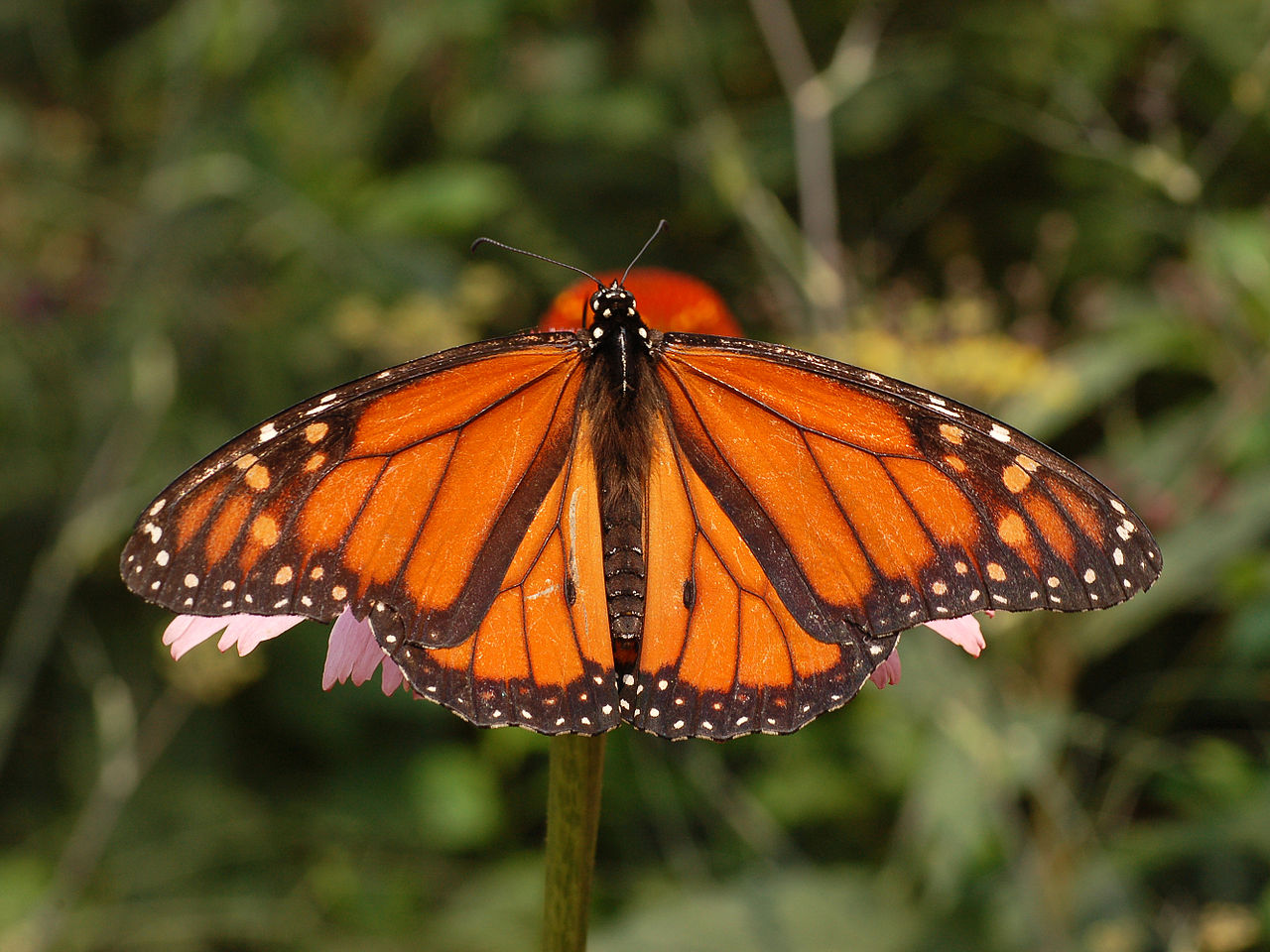 Where Have All Monarchs Gone >> Where Have All The Monarchs Gone Duncannon Appalachian Trail
