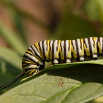 Monarch Caterpillar Feeding