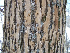 outer bark flecked away by woodpeckers