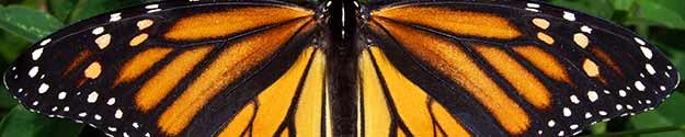 Monarch-Butterfly-Wingspan