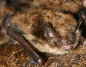 smallbrownbat707.JPG[1]