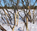 Deer eat bark in the winter.