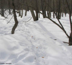 Deer trails in winter are called yards.