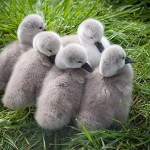 Female Tundra Swans have 3 to 5 cygnets.