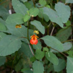 Jewel Weed Orange Flower
